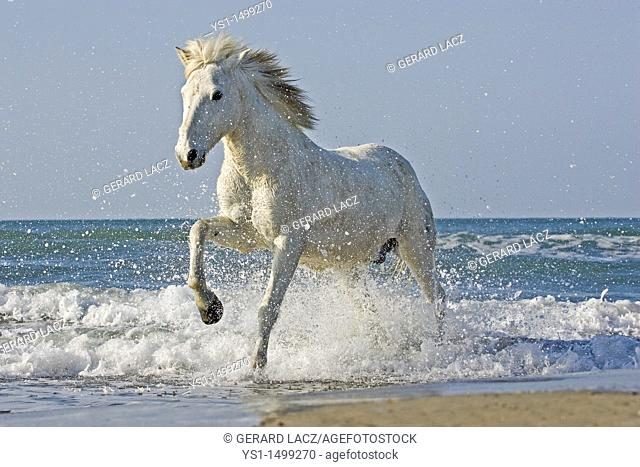 Camargue Horse Galloping on the Beach, Saintes Marie de la Mer in the South of France