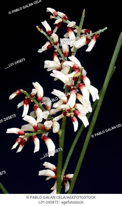 Bridal broom (Retama monosperma)