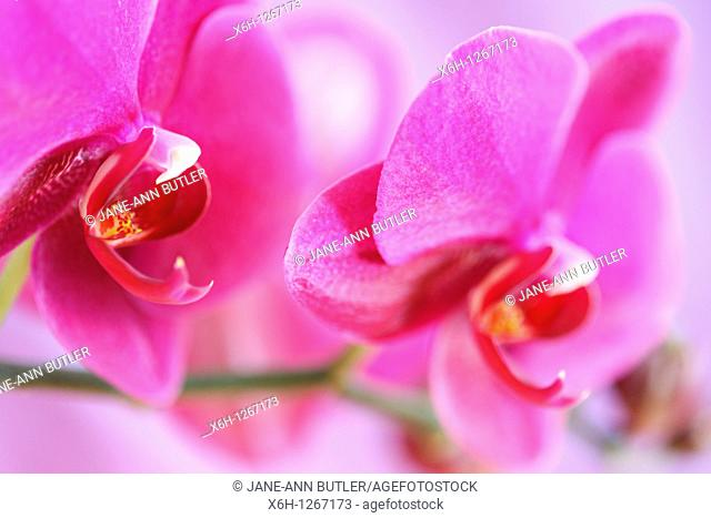 Bold Pink Moth Orchid Stem