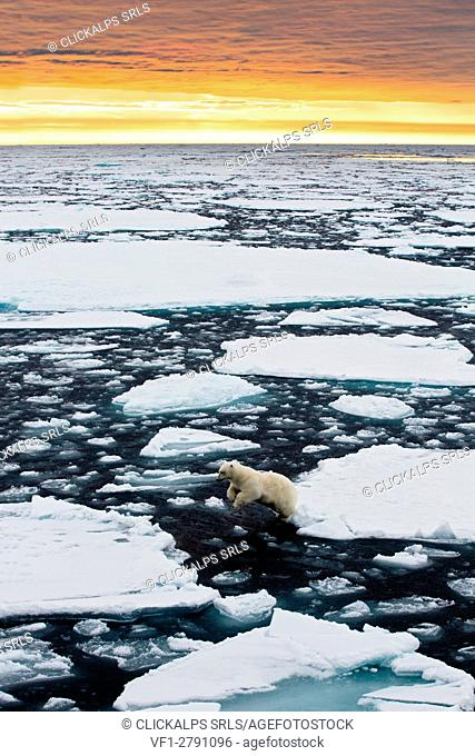 A polar bear leaps between ice floes floating in the high arctic ocean north of spitsbergen, at sunset