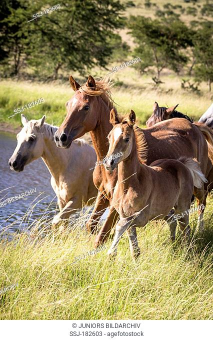 Nooitgedacht Pony. Mares with foals galloping in savanna. South Africa