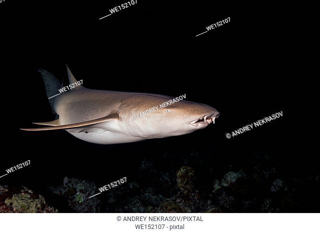 Tawny nurse sharks (Nebrius ferrugineus) swims over coral reef in the night, Indian Ocean, Maldives