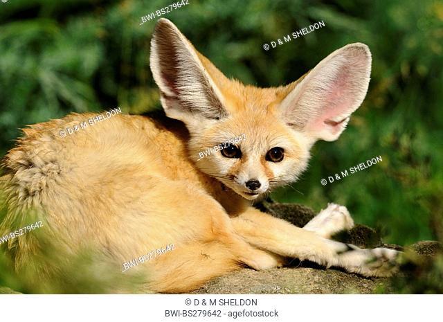 fennec fox Fennecus zerda, Vulpes zerda, resting