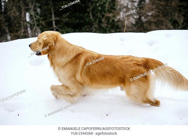 Golden retriever dog on snowy path iced, mountain Valtellina, Italy