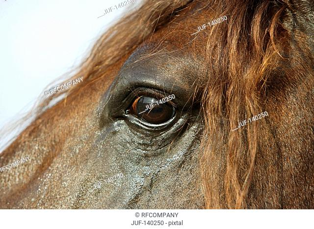 lusitano horse - portrait - eye