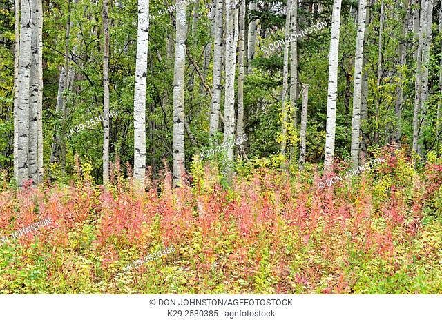 Aspen woodland with roadside fireweed in autumn colour, Highway 1 to Fort Simspon, Northwest Territories, Canada