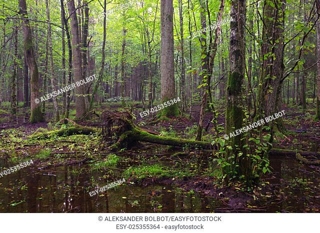 Early morning in deciduous stand and standing water around,Bialowieza Forest,Poland,Europe