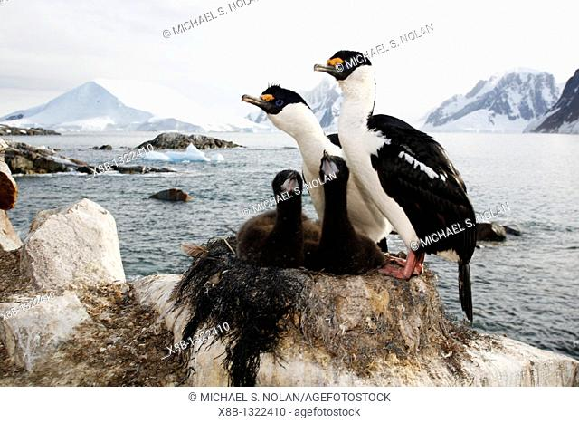 Antarctic Shag Phalacrocorax atriceps bransfieldensis parents on the nest with two downy chicks on Petermann Island near the Antarctic Peninsula  This is the...