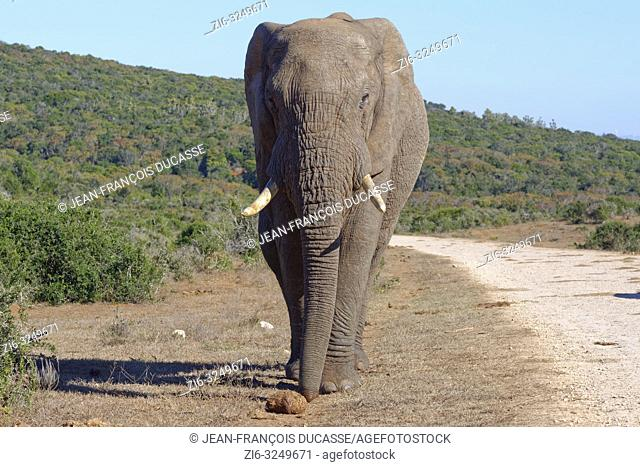 African bush elephant (Loxodonta africana), adult male, walking along a gravel road, Addo Elephant National Park, Eastern Cape, South Africa, Africa