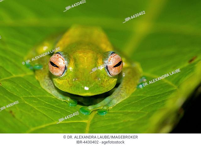 Mantellid frog (Boophis elenae) on green leaf, rainforest, Ranomafana National Park, Central Highlands, Madagascar