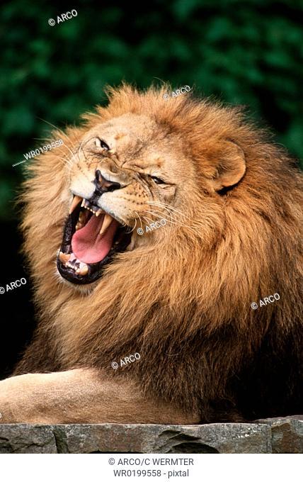 African, Lion, male, yawning,Panthera, leo