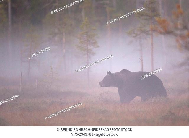 Brown Bear (Ursus arctos) standing in misty forest, Kainuu, Finland