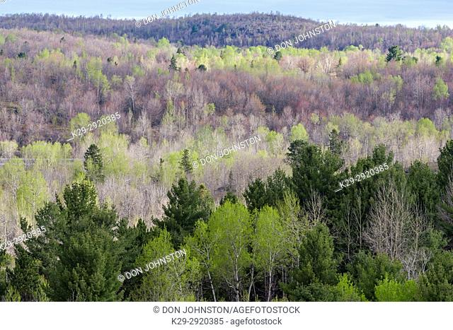 Spring foliage in a mixed forest of aspen, birch and spruce, near Simon Lake, Greater Sudbury, Ontario, Canada