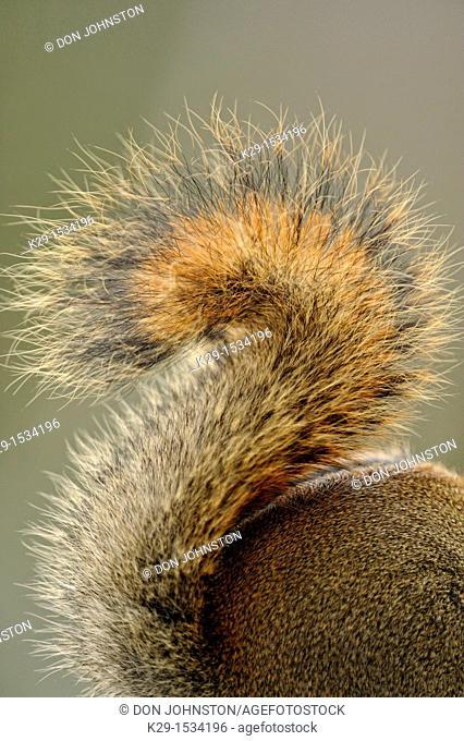 Red Squirrel Tamiasciurus hudsonicus detail of squirrel tail