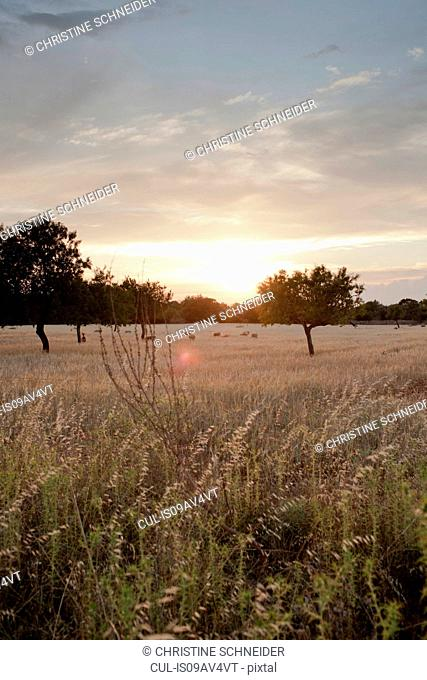 Distant sheep grazing in wheat field at sunset, Majorca, Spain