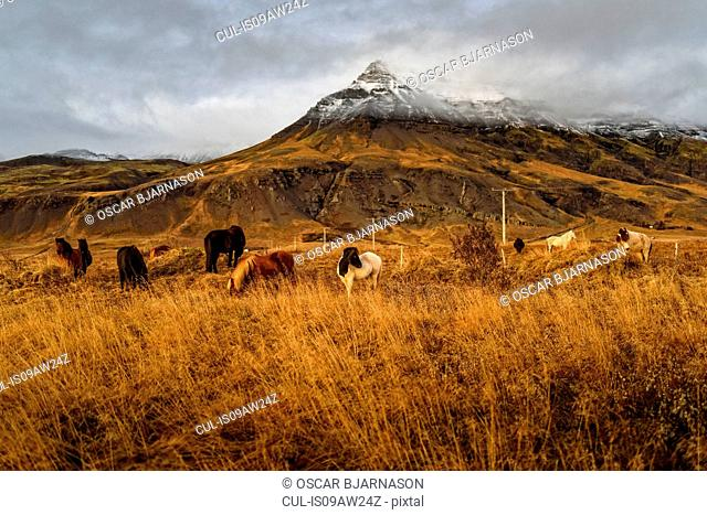 Icelandic ponies grazing near mount Esja, Reykjavik, Iceland