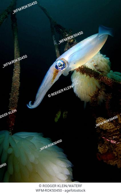 bigfin reef squid laying eggs, Sepioteuthis lessoniana, Lembeh Strait Sulawesi Celebes, Indonesia