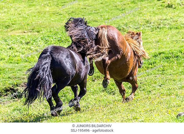 Shetland Pony Two young stallions squabbling on a meadow The chestnut one is kicking Shetlands, Burra