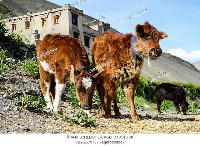 Calves playing at Yurutse homestay. Trekking in Markha valley (Laddakh, India)