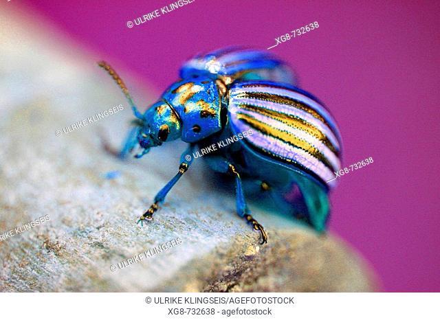 Enchanted beetle
