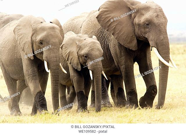 Group of elephants walking on dusty plains - Amboseli National Park, Kenya