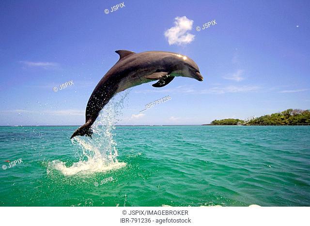 Bottlenose Dolphin (Tursiops truncatus) leaping out of the water, Caribbean, Roatán, Honduras, Central America