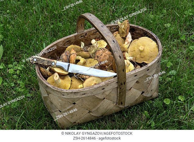 Russia. Belgorod region. Wild mushroom harvest. Harvesting and drying mushrooms
