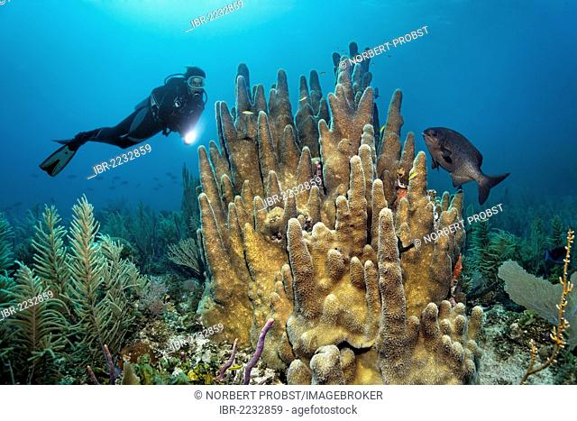 Scuba diver looking at a pillar coral (Dendrogyra cylindrus) and Bermuda or Yellow Chub (Kyphosus sectatrix/incisor), Republic of Cuba, Caribbean Sea, Caribbean