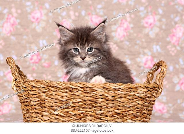 American Longhair, Maine Coon. Tabby kitten (6 weeks old) sitting a basket. Studio picture against a floral design wallpaper