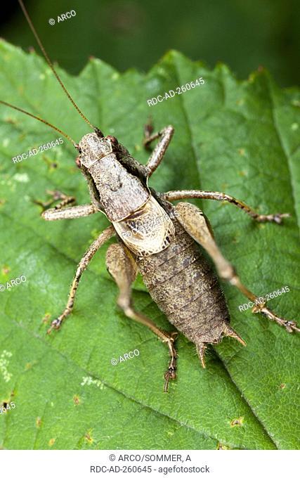 Dark Bush-cricket Pholidoptera griseoaptera