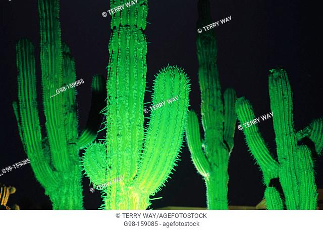 A Baja cactus garden by night