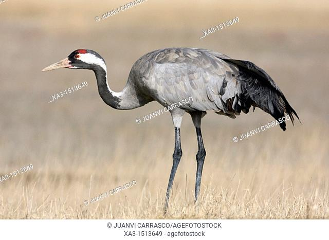 Common crane, Grus grus, at Gallocanta, Teruel, Spain