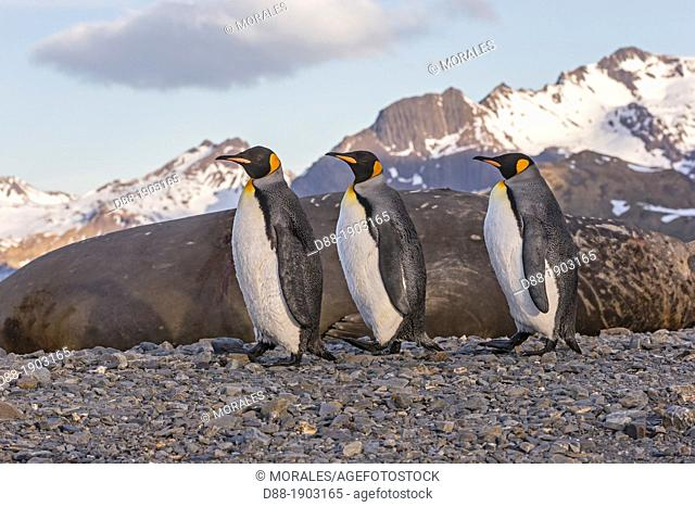 United Kingdom, South Georgia Islands, Stromness Harbour, King Penguin, Adults, Aptenodytes patagonicus, with Elephant Seal