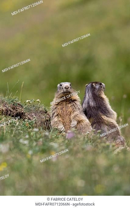 Nature - Fauna - Marmot - Couple of marmots in the natural regional park of Queyras