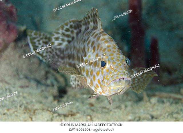 Areolate Grouper (Epinephelus areolatus), Tasi Tolu dive site, Dili, East Timor (Timor Leste)