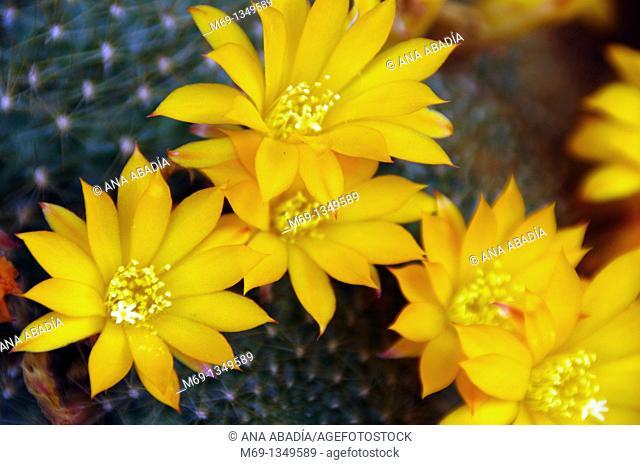 Yelow flowers of cactus