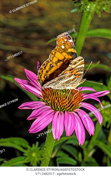 American Painted Lady Butterfly (Cynthia virginiensis) Feeding on Purple Cone-flower (Echimacea purpurea)