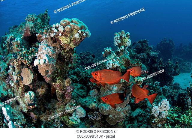 Fish by corals, Red Sea, Marsa Alam, Egypt