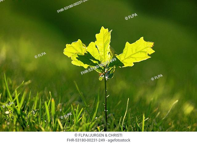 Common Oak Quercus robur seedling, backlit leaves, Germany, september
