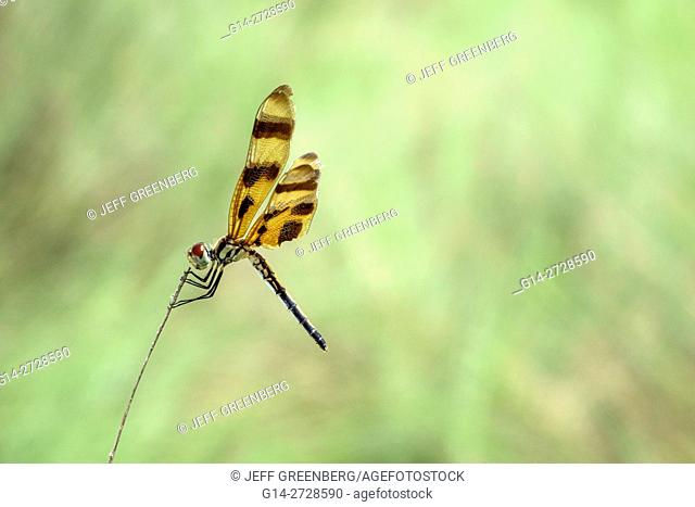 Florida, Tamiami Trail, Florida Everglades, Everglades National Park, Shark Valley, tropical wetland, environment, habitat, ecosystem, dragonfly, insect