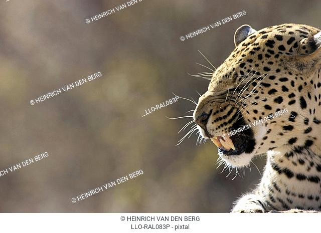 Side view of a Leopard Panthera Pardus snarling, Okonjima Lodge and Africat Foundation, Namibia