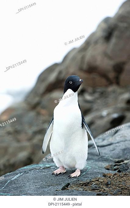 Adelie penguin pygoscelis adeliae, antarctica