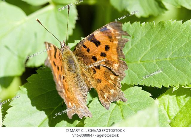 Comma Butterfly, Polygonia c-album sunning on a leaf