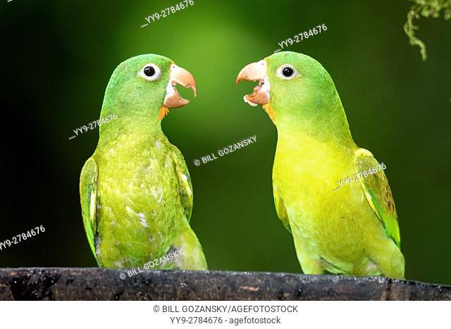 Orange-chinned Parakeets - Boca Tapada, San Carlos, Costa Rica