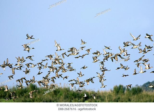 South east Asia, India,Assam state,Brahmapoutra,ducks in flight