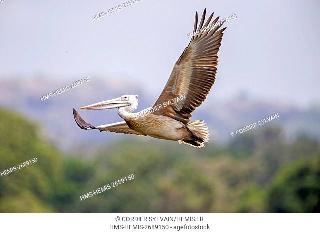 Sri Lanka, Yala national patk, Spot-billed pelican or grey pelican (Pelecanus philippensis), drinking during the flight
