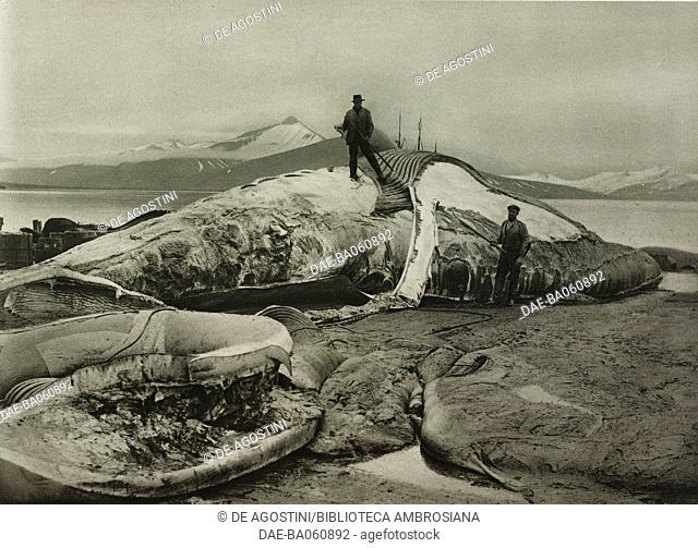 Two men skin a whale caught in the sea of Norway, photo from L'illustrazione Italiana, year LIX, n 31, July 31, 1932. DeA / Veneranda Biblioteca Ambrosiana