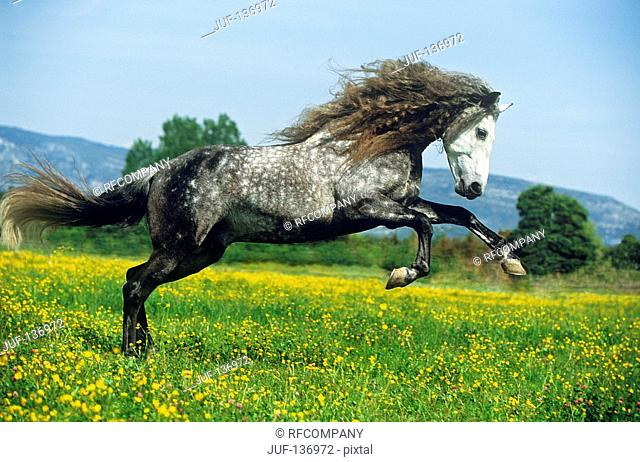 Lusitano on meadow