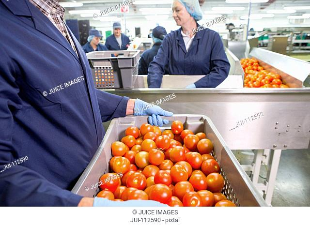 Worker carrying bin of ripe red tomatoes near production line in food processing plant