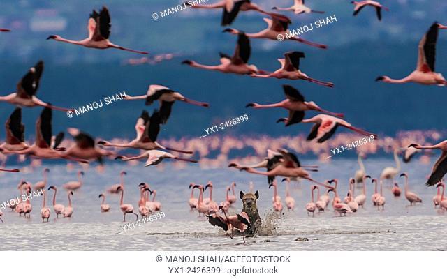 Hyena on a hunt attempt on flamingos at Lake Nakuru. Kenya